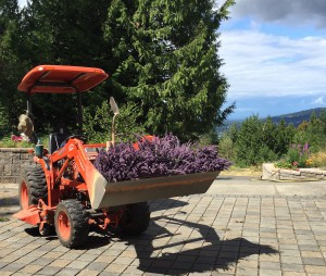 Christina_Dodd_Lavender_Tractor